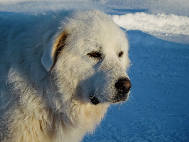 グレートピレニーズ,ピレネー犬,白い犬