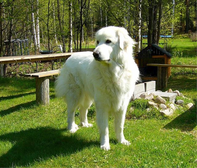 グレートピレニーズ.大型犬,白い犬,もふもふ