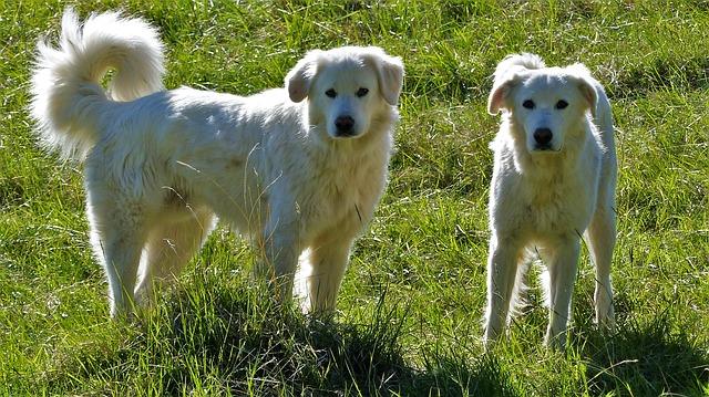 グレートピレニーズ.,大型犬,2頭もふもふ,白