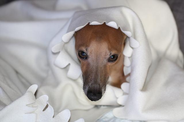 イタグレ.布団.モデル犬