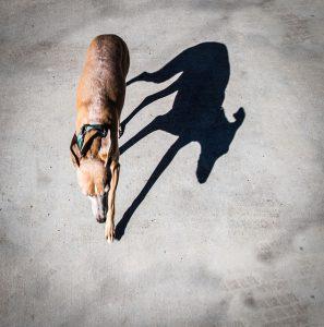 イタグレ.モデル犬