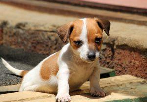 ジャックラッセルテリア.子犬