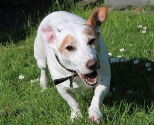 ジャックラッセルテリア.白い犬.