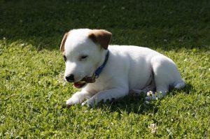 ジャックラッセルテリア.白い犬.子犬.