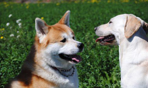 ラブラドールレトリバー,秋田犬,柴犬