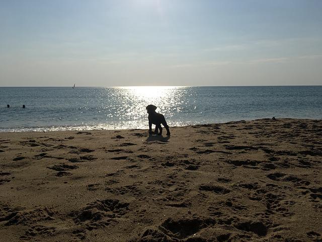 海,ラブラドールレトリバー,子犬