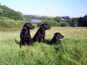 ラブラドールレトリバー,,黒い犬