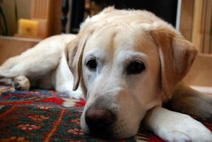 ラブラドールレトリバー,,白い犬
