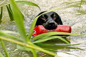 ラブラドールレトリバー,,水難救助犬,黒い犬