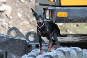 黒い犬,ミニチュアピンシャー,鎖の首輪