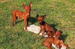 ミニチュアピンシャー,子犬,茶色の犬