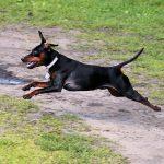 ミニチュアピンシャー,飛行犬,黒い犬