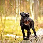ミニチュアシュナウザー.小型犬.黒い犬