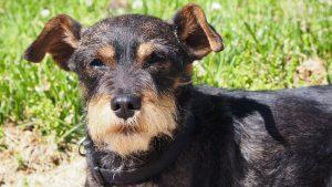 ミニチュアシュナウザー.小型犬.黒い犬.首輪