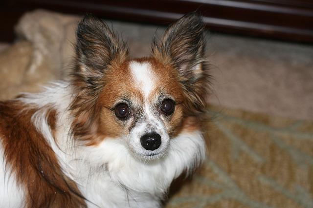 パピヨン,犬,子犬