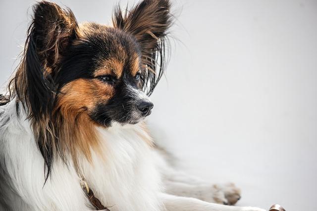 パピヨン,犬,茶白,横顔