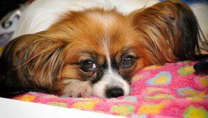 パピヨン,犬,眠い,布団