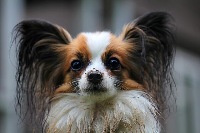 パピヨン,犬,茶白