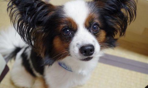 パピヨン,犬,畳