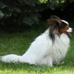 パピヨン,犬,横