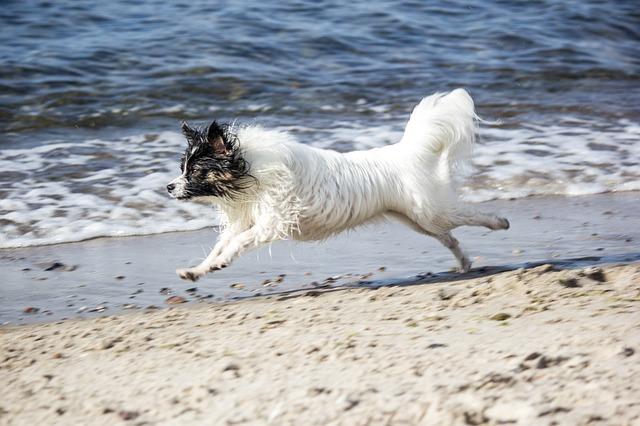 パピヨン,犬,膿,海