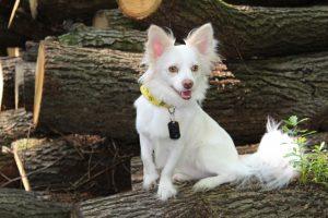 パピヨン,犬,白