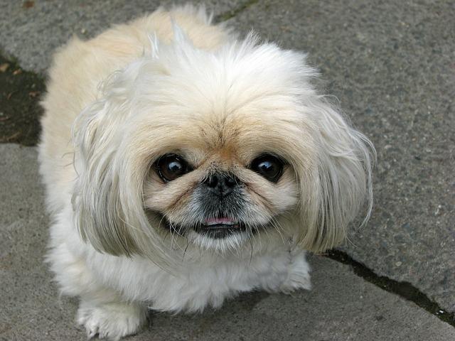 ペキニーズ.小型犬.白い犬