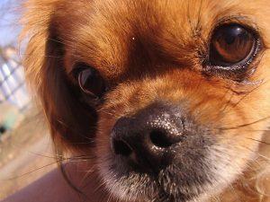 ペキニーズ.小型犬.茶色