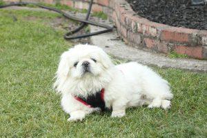 ペキニーズ.小型犬.白い犬.ぶさかわ