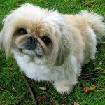 ペキニーズ.小型犬.白い犬.