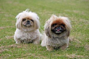 ペキニーズ.小型犬.茶色い犬.ぶさかわ