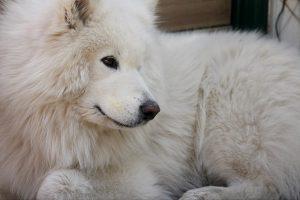 サモエド.白い犬.もこもこ