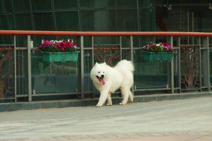 サモエド.白い犬.もこもこ犬