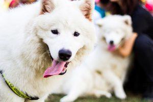 サモエド.白い犬