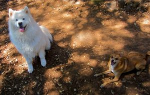 サモエド.白い犬.もこもこ犬.