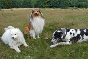 サモエド,白い犬.ラフコリー.グレートデン.長毛.