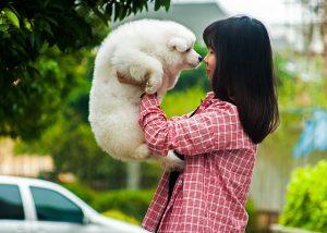 サモエド,白い犬.子犬.もこもこ.キス.