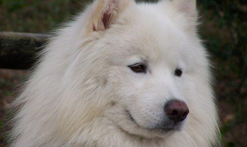 サモエド,白い犬.もこもこ.