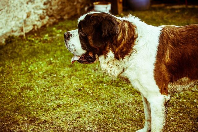 セントバーナード,大型犬,ハイジ