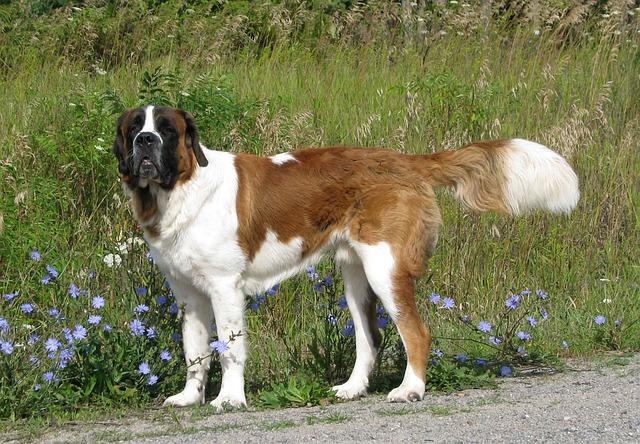 セントバーナード,大型犬