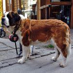 セントバーナード,ハイジの犬,ベートーベン,樽