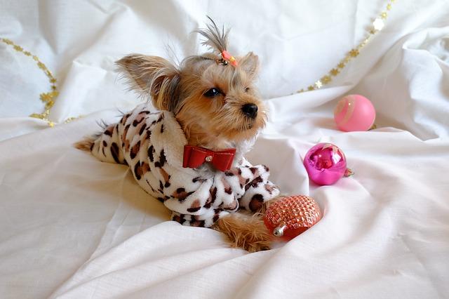 ヨークシャーテリア,犬,ベッド
