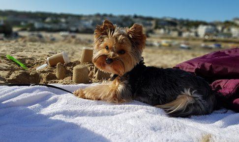 ヨークシャーテリア,犬,海