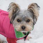 ヨークシャーテリア,犬,雪,服