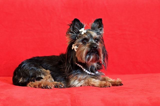 ヨークシャーテリア,犬,リボン