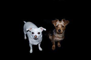 ヨークシャーテリア,犬,白