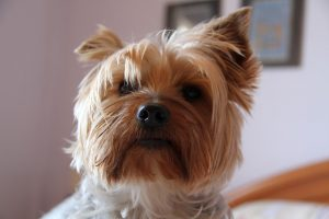 ヨークシャーテリア,犬,部屋