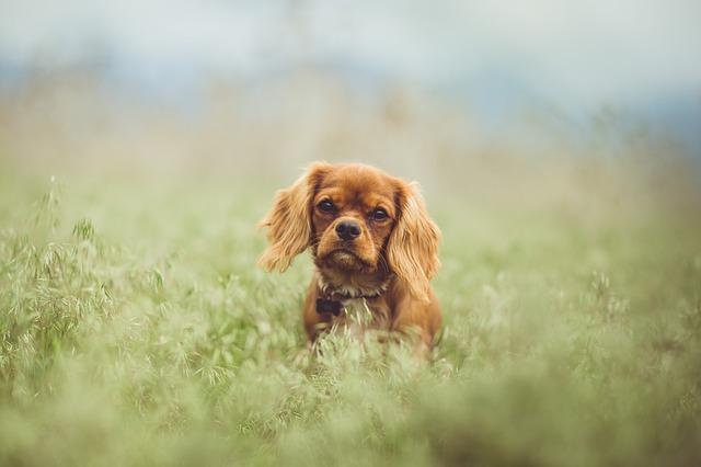 キャバリア,ルビー,小型犬