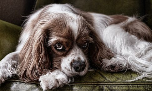キャバリア,小型犬