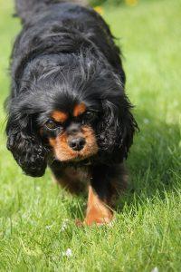 キャバリア,小型犬,ブラックタン